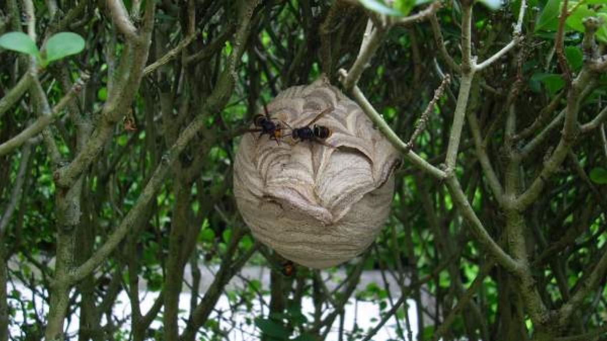 Cómo deshacerse de las avispas e insectos que pican y que han establecido nidos alrededor de la casa