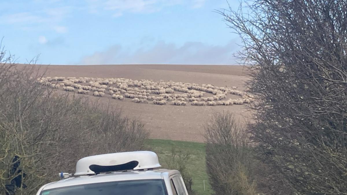 El misterio del rebaño de ovejas que forman un círculo perfecto