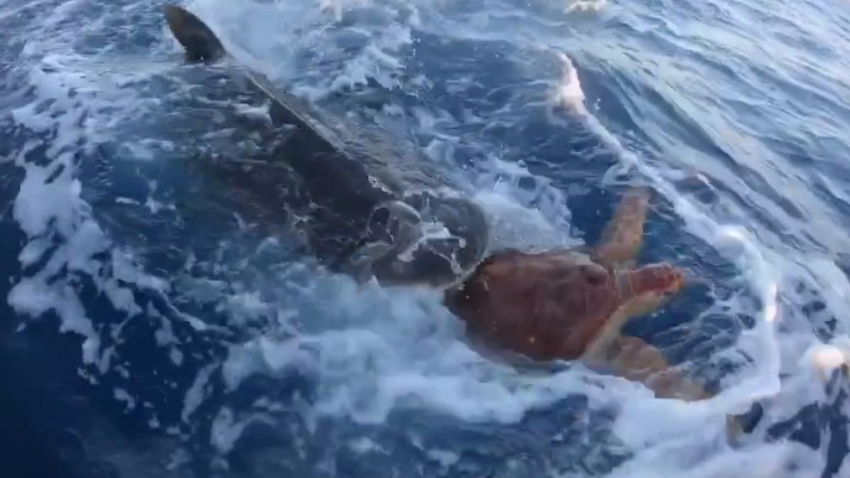 """Unos pescadores salvan a una tortuga de ser devorada por un tiburón: """"¡Dios mío!"""""""