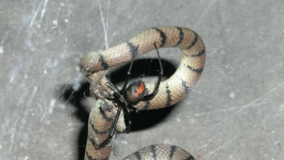 Una araña de espalda roja ataca a una serpiente en Australia.