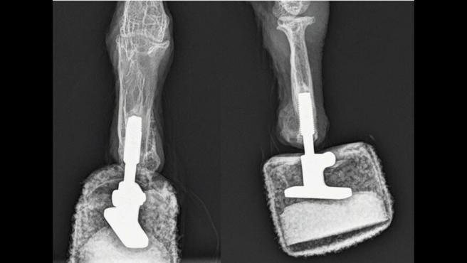 Mia, la primera quebrantahuesos biónica del mundo: su nueva pata de titanio le ha permitido recuperar su vuelo y aterrizaje