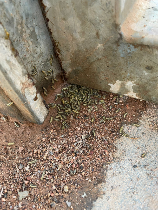 Plaga de orugas en el pipican de Can Cuiàs, en el distrito de Les Corts (Barcelona).