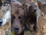 Los grandes carnívoros regresan a sus antiguas zonas de habitat