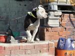 Un perro categorizado como PPP (Perro Potencialmente Peligroso) en el sector 6 de la Cañada Real.