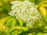 La flor del saúco, eficaz para eliminar el hongo que causa la caspa grasa.
