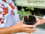 La Escuela Técnica Superior de Ingeniería (ETSE-UV) de la Universitat de València (UV) participa en un estudio desarrollado en toda España para medir la calidad y la contaminación del aire a través de plantas de fresas.