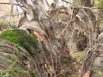 Toallitas húmedas que envuelven por completo los árboles de la zona.