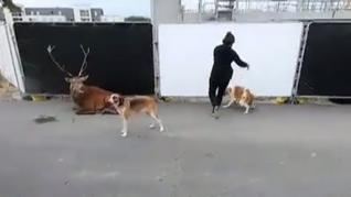 Polémicas imágenes de un ciervo exhausto acorralado por perros de caza