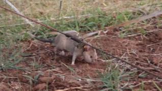 Rata gigante africana es condecorada por su trabajo en Camboya  