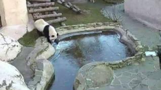 Osos panda se asustan