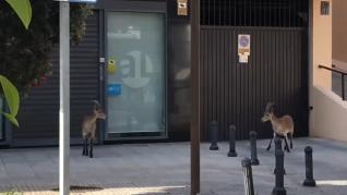 Dos cabras montesas por Málaga