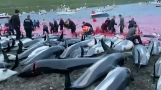 Masacre de 1.500 delfines en las Islas Feroe por una tradición que se remonta a hace diez siglos