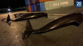 Sigue el sacrificio de delfines en las islas Feroe