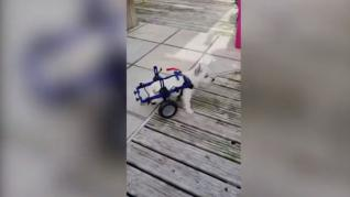 Recaudan 5.000 dólares para que este pequeño perro pueda andar