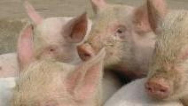 Un grupo de cerdos en una granja.
