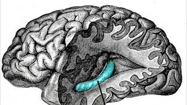 El hipocampo, un área del cerebro relacionada con la memoria y la orientación espacial.