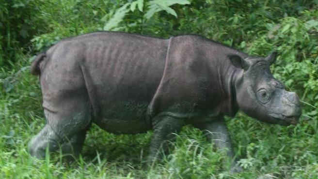 Tam, rinoceronte de Sumatra.