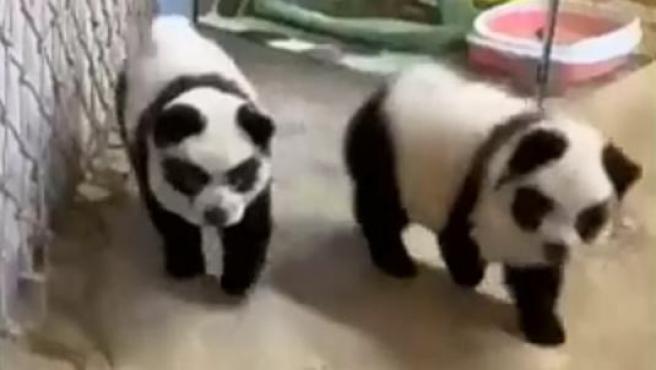 """Dos de los """"perros panda"""" de la cafetería Cute Pet Games."""