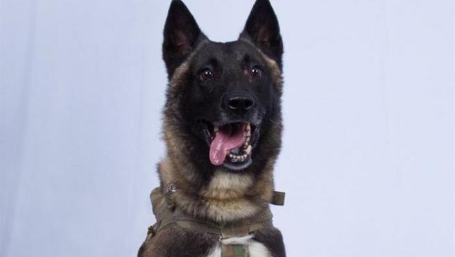 El perro de la unidad 'K-9' del Ejército de EE UU que participó en la operación militar que acabó con la muerte del líder del Estado Islámico, Abu Bakr Al Baghdadi.