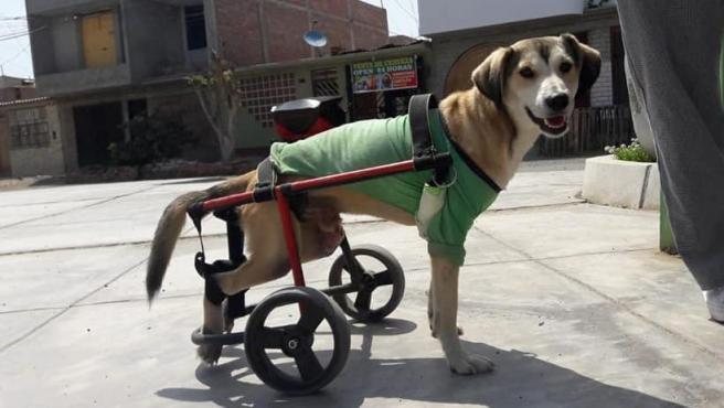 Rocky con su silla de ruedas.