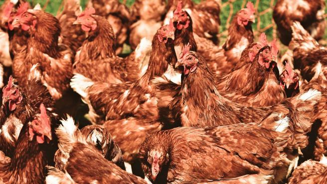 Imagen de archivo de varias gallinas.