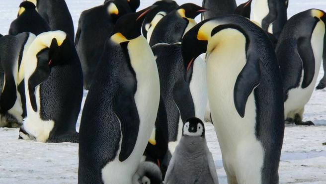Pingüinos emperador, con sus crías.