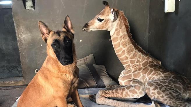 El perro Hunter y la jirafa Jazz, en el The Rhino Orphanage, en Limpopo.