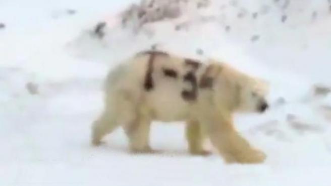 """El oso polar con las letras """"T-34"""" escritas en el lomo."""