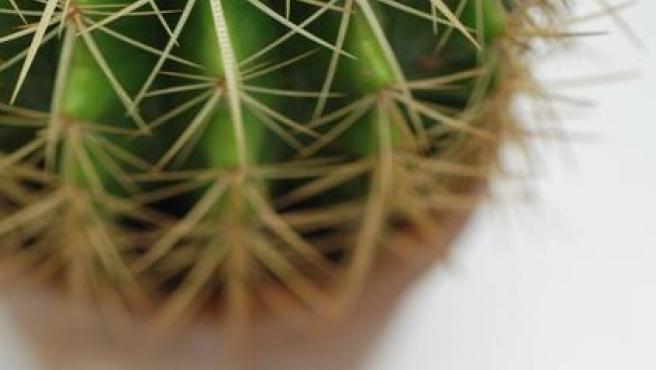 Un cactus en una maceta.