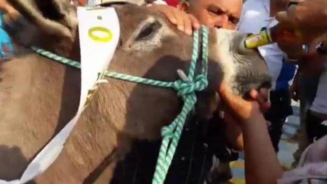 El burro, obligado a tomar cerveza por la nariz.