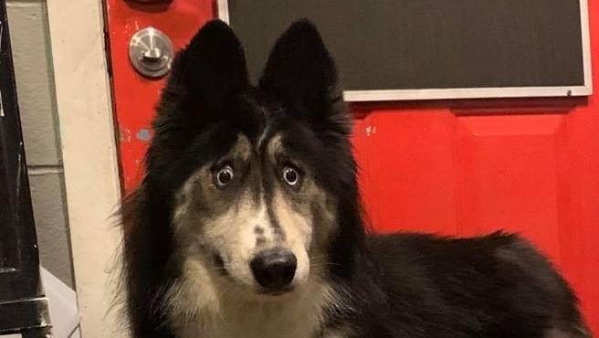 """Jubilee, una husky siberiana de 4 años abandonada por sus ojos """"extraños"""""""