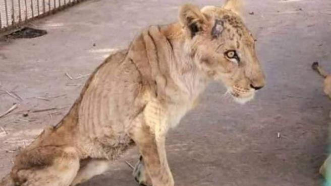 León desnutrido en un parque de Sudán
