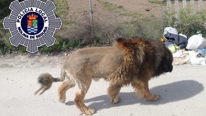 Imagen del perro al que han confundido con un león.