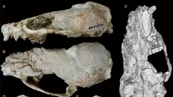 Fósiles del cráneo de Circamustela peignei visto desde diferentes perspectivas.