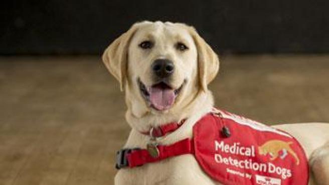 Uno de los perros que será entrado para detectar a los infectados de coronavirus.