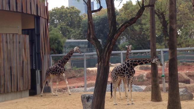 El espacio para las jirafas del Zoo de Barcelona, en una imagen de archivo.