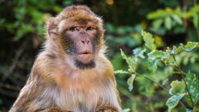 Imagen de archivo de un macaco.