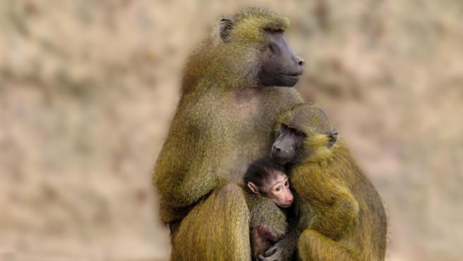 Una familia de babuinos