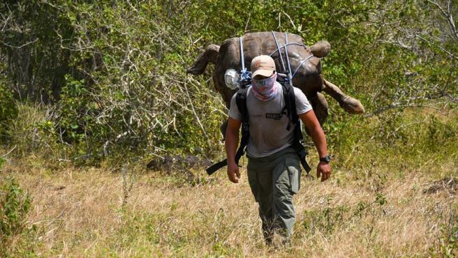Un empleado del Parque Nacional de Galápagos (Ecuador) carga con una de las 15 tortugas trasladadas desde la isla de Santa Cruz a la isla Española, entre ellas, la tortuga Diego.