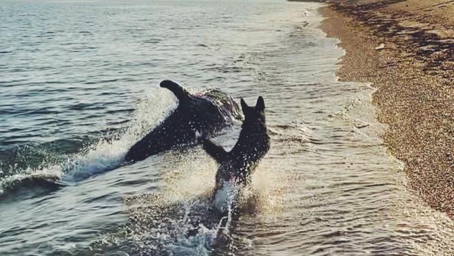 Patrick podría ser otro perro más, encantado de jugar con sus semejantes. Sin embargo, este perro ha hecho una amistad poco común pero igual de valiosa. A Patrick y al delfín les encanta jugar en la orilla del mar.