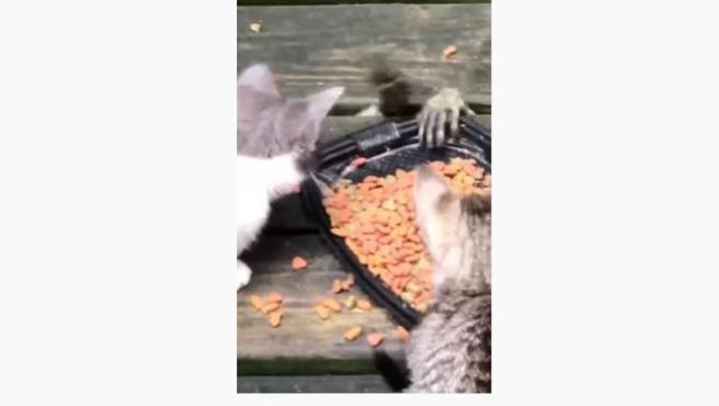 Momento en el que un mapache trata de robar la comida