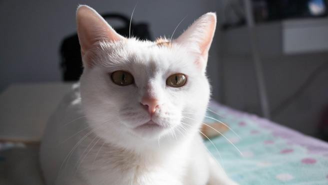 El 8% de los hogares españoles tiene un gato en casa, por lo que se calcula que hay 2,3 millones de esos felinos en nuestro país.
