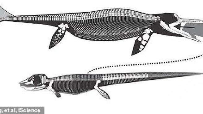El fósil de un Ictiosaurio junto a otro reptil marino
