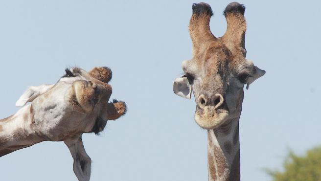 Es lo que parece que piensa esta jirafa. No duda en doblar su cuello y poner su mejor 'sonrisa' para salir en en la foto que realizó en Namibia.