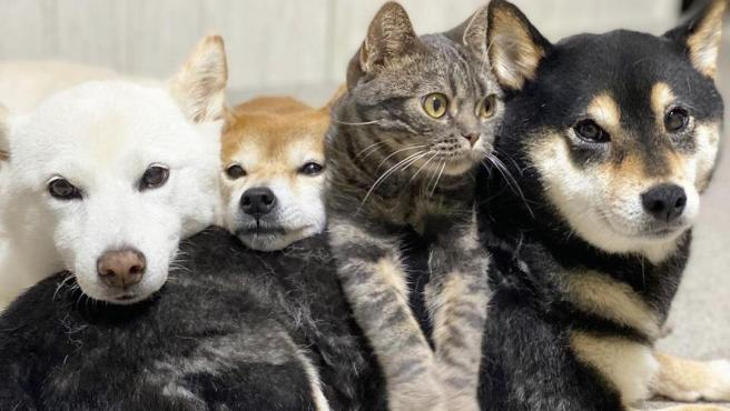 Imagen de el gato Kiki junto a los tres Shiba Inus, Saki, Ibuki y Hazuki.