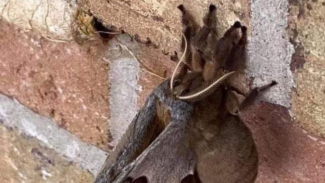 Una imagen de la Antheraea Polyphemus que subió a Facebook el usuario Mamalón.