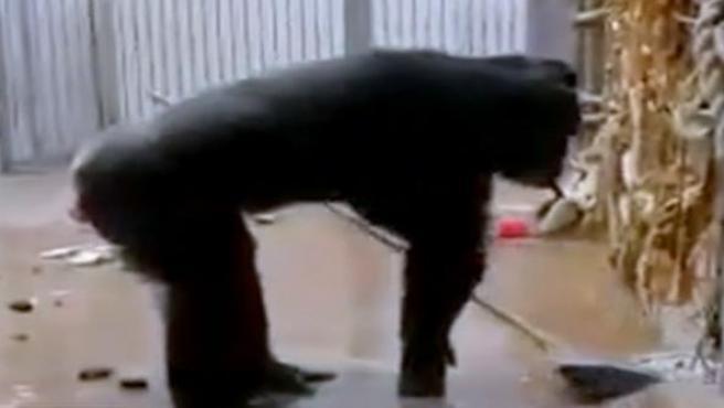Una chimpancé barriendo el suelo.