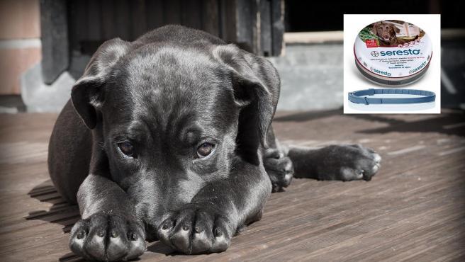 Imagen de archivo de un perro y de uno de los collares antipulgas de Seresto.