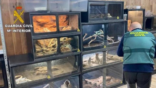 Tal y como se se sospechaba, el joven de 31 años mordido, el pasado domingo, por una serpiente de cascabel en La Puebla de Montalbán (Toledo) guarda relación directa con este tipo de reptiles peligrosos. De hecho, la Guardia Civil le imputa varios delitos al haber descubierto en su domicilio 44 reptiles muy tóxicos y 12 escorpiones letales.