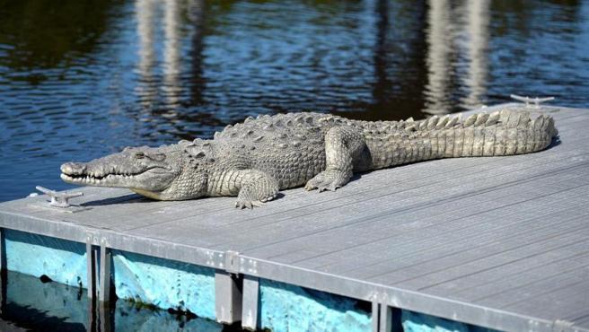 Un cocodrilo americano (Crocodylus acutus), en Miami (Florida, EE UU).